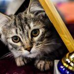 Wystawa kotów rasowych w Pruszkowie