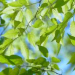 Więcej zieleni w Piastowie