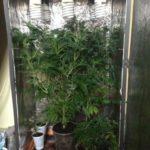 Prowadził plantację marihuany we własnym mieszkaniu