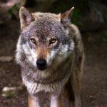 Coraz więcej wilków pod Warszawą