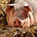 Kolejne przypadki Afrykańskiego Pomoru świń na Mazowszu