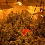 Policjanci zlikwidowali plantację marihuany koło Grodziska Mazowieckiego