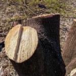 Rewitalizacja Piastowa a wycinka drzew