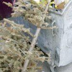 Akcja sprzątania świątecznych choinek w Brwinowie